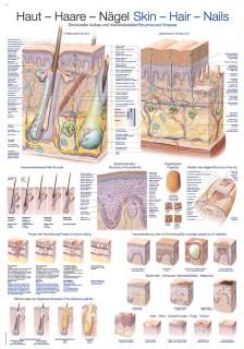 Uzskates materiāls - Ādas, matu, nagu uzbūve