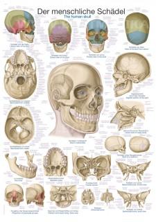 Uzskates materiāls - Cilvēka galvaskauss