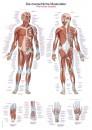 Uzskates materiāls - Cilvēka muskuļi