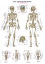 Uzskates materiāls - Cilvēka skelets