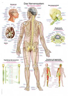 Uzskates materiāls - Nervu sistēma